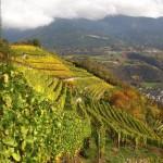 Weingarten-          vigneto